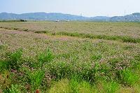レンゲ畑.jpg